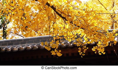 autumn tree and chinese building 10 - maidenhair tree and...