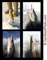ice fishing collage variety - four freshwater species of...