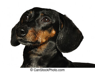 Black and Tan Short Haired Dachshund