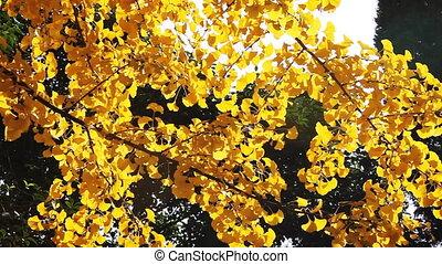 autumnal maidenhair tree 6