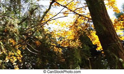 autumnal maidenhair tree 7