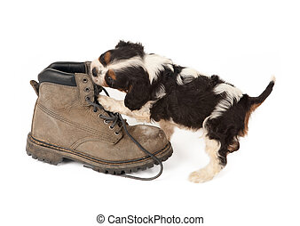 Big boot with small dog - Baby king charles spaniel playing...