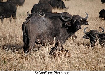 Buffalo with calve - Buffalo taking care of calve in the...