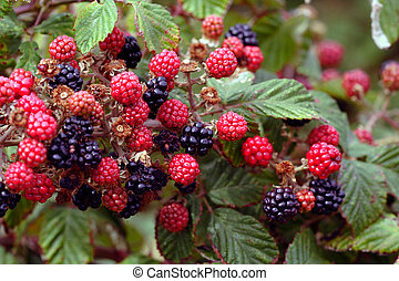Blackberries - Beautiful mature blackberries and young red...