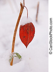 Husk tomato fruit color sparkles in the first snow of winter...