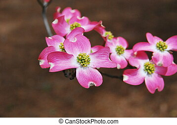 Pink Flowering Dogwood - View of a spring blossom of the...