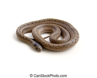 Coiled Snake - Coiled Northern Brown Snake (Storeria dekayi...