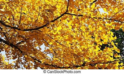 autumnal maidenhair tree 8