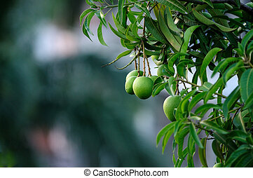 Mangoes - Fresh mangoes growing on trees naturally in India
