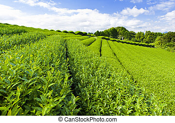 Tea plantation - Beautiful fresh green tea plantation at...