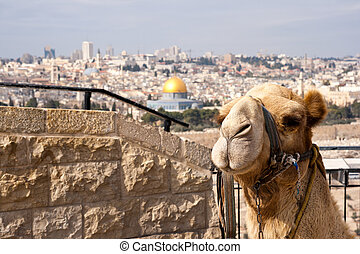Camel Jerusalem - Camel in front of the Dome of Rock in...