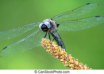 Dragonfly on grass - Macro blue dragonfly of face on grass,...