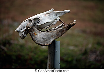 Cow skull - Warning notice in a farm with a cow skull