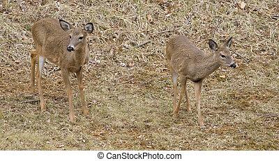 deer pair