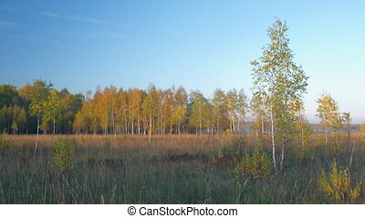 Birches autumn forest panning