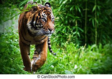 Hunting Tiger at the zoo