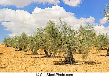 olive tree 58