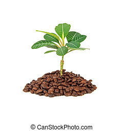 Coffee Plant - Growing coffee plant isolated on white...