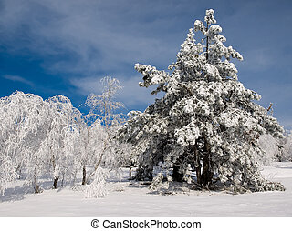 Winter. - Snowy trees and blue sky.