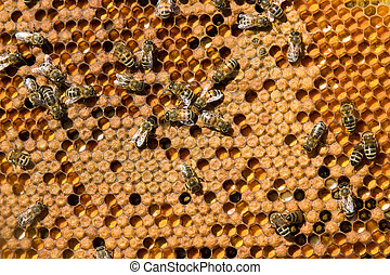 Life and reproduction of bees - In the honeycomb frames are...