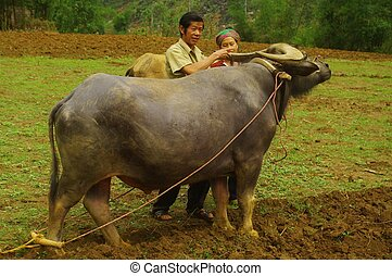 White Hmong male - Hmong white man in his field with his...