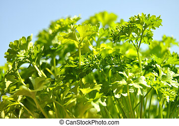 Parsley cut-out