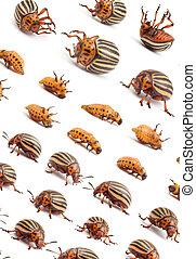 Colorado, papa, escarabajos