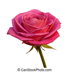 rose isolated - Aroma fresh rose isolated on white...