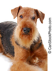 dog Airedale - pureblooded dog Airedale isolated on white...