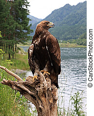 Golden eagle (Aquila chrysaetos). Altai