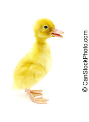 duck  - small yellow duck on a white background