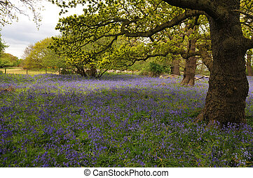 Bluebell Meadow in a field of old trees, Suffolk, UK