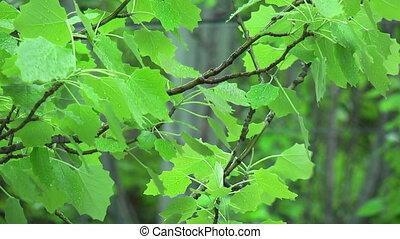 Swinging leaves in rain