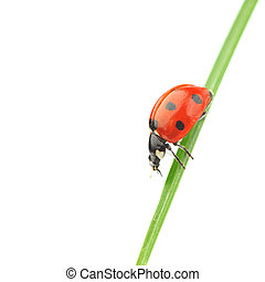ladybug on grass isolated on white background