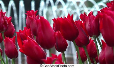 Red tulips with fountain in background