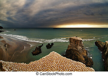Gannet colony, New Zealand - Gannet colony, Muriwai Beach,...