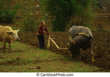 Hmong White Woman plowing - The women and men wielding the...