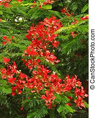 Flamboyan Tree - Flamboyan tree,royal poinciana or flame...
