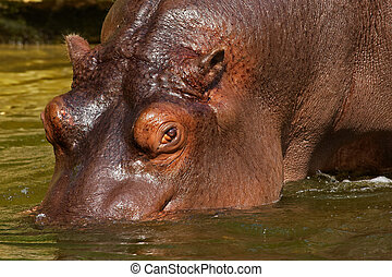 Hippo going into the water - Close-up of a Hippo in the...