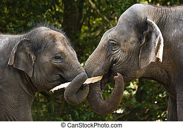Two asian elephants eating tree-bark - Two asian elephants...