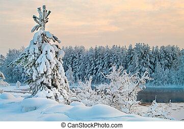 abeto, árbol, invierno, bosques, Karelia, Rusia,...