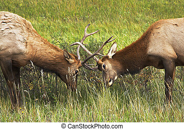 Who from two deers is stronger - Two deers struggle on a...