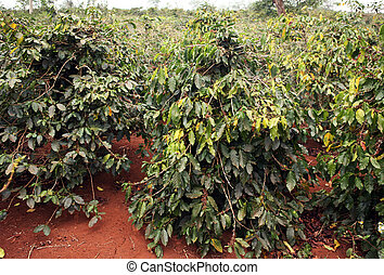 Coffee trees plantation with red soil