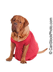 Dog of Dogue De Bodeaux Beed sitting with red romantic dress...