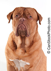 Portrait of puppy of Dogue De Bordeaux French Mastiff Breed...