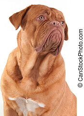 Serious puppy of french mastiff breed looking aside isolated...
