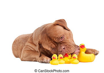 Dog of french mastiff breed playing with duck toys isolated on white background