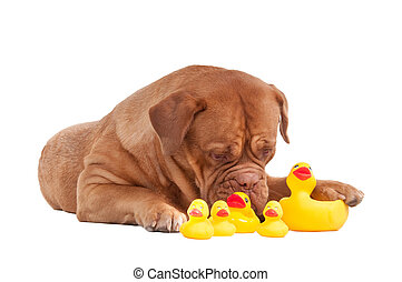 Dog of french mastiff breed playing with plastic duck toys...