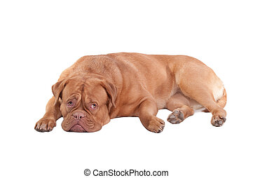 Dog of Dogue De Bordeaux breed is resting on the floor isolated on white background