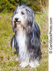 Bearded Collie. - Scottish breed of dog %u2013 Bearded...